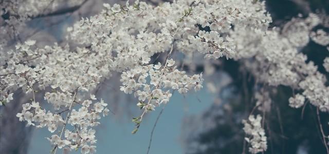 糸桜 2015
