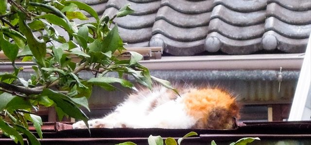 熟睡する三毛猫さん