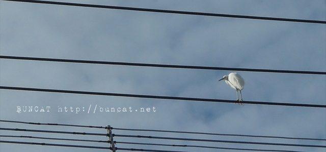 白鷺さんon電線