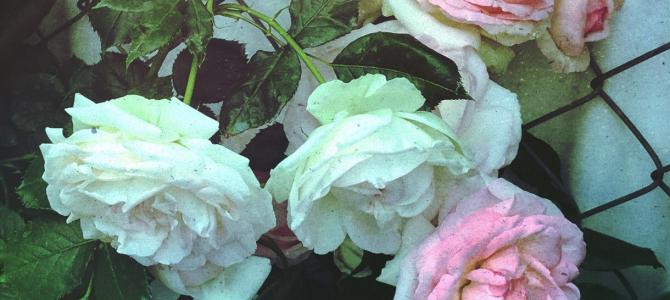 初夏の朝の薔薇